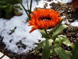 雪中の花1